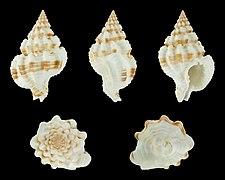 Nassaria amboynensis 01.JPG