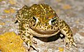 Natterjack Toad (Epidalea calamita) (41439896252).jpg