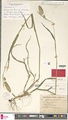 Naturalis Biodiversity Center - L.3093576 - Phalaris minor Retz. - Gramineae - Plant type specimen.jpeg
