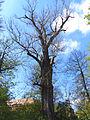 Naturdenkmal Schwarzpappel Stadtpark Riesa 3.JPG