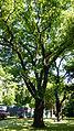 Naturdenkmal Stiel-Eiche Friedhof der Märzgefallenen Volkspark Berlin-Friedrichshain 01.JPG