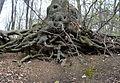 Naturschutzgebiet Herrenberg und Vorberg im Huy - Baumwurzeln am Weinberg (2).JPG