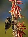 Nectarinia mariquensis (subadult) 2.jpg
