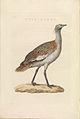 Nederlandsche vogelen (KB) - Otis tarda (460b).jpg