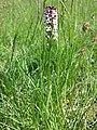 Neotinea ustulata subsp. ustulata sl3.jpg
