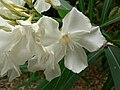 Nerium oleander (Villa Hanbury, Italy) 1.jpg