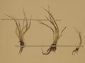 Neuchâtel Herbarium - Isoetes echinospora - NEU000020012 (cropped).png