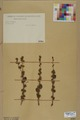 Neuchâtel Herbarium - Larix decidua - NEU000003677.tif