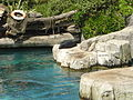 New Zealand Fur Seal Auckland Zoo.JPG