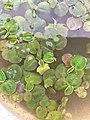 New leaf fluitans.jpg