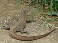 Nile Monitor (Varanus niloticus) (6045801889).jpg