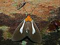 Noctuid Moth (Asota heliconia) (6707985485).jpg