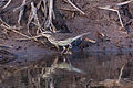 Northern Waterthrush (Parkesia noveboracensis) (8079399813).jpg