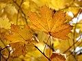 Norway Maple (31164157722).jpg