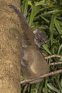 Hawks sportive lemur Species of lemur