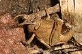 Notched Shield Grasshopper - Abisares viridipennis, Gorongosa National Park, Mozambique (41951387914).jpg