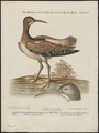 Numenius phaeopus - 1700-1880 - Print - Iconographia Zoologica - Special Collections University of Amsterdam - UBA01 IZ17400077.tif
