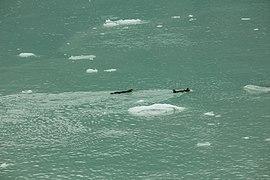 Nutrias marinas (Enhydra lutris), Parque Nacional Bahía del Glaciar, Alaska, Estados Unidos, 2017-08-19, DD 69.jpg