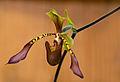 ORQUIDEA (Paphiopedilum lowii).jpg
