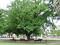 Oak Tree in Belmore Park, Goulburn, NSW1.jpg