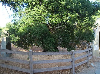 Rancho San Francisco - Oak of the Golden Dream in 2008
