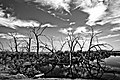 Obsidian Sticks, Salton Sea Jul09 - panoramio.jpg