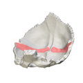 Occipital bone - Groove for transverse sinus - close-up6.png