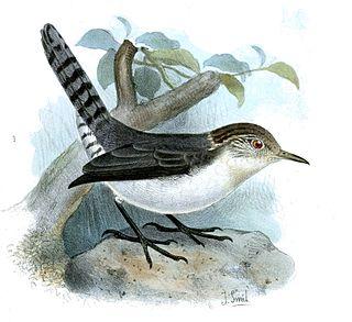Grey-mantled wren Species of bird