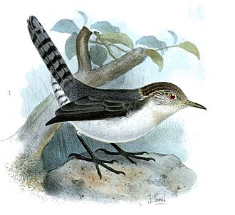 Wren - Grey-mantled wren (Odontorchilus branickii)