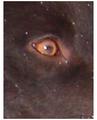 Ogen hond.png