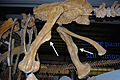 Olorotitan femurs def.jpg