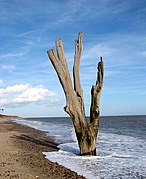 One of many dead trees by Benacre Broad (geograph 2137590).jpg