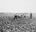 Ontginningen, gewassen te velde, voederbieten, Bestanddeelnr 194-0126.jpg