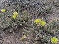 Opuntia-arenaria.jpg