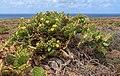 Opuntia stricta - Tenerife 01.jpg