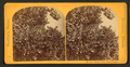 Orange tree, Stowe Estate, from Robert N. Dennis collection of stereoscopic views.png