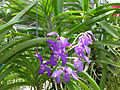 Orchids in Thailand 2013 2765.jpg