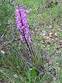Orchis xlangei habitus CanadaCalatrava 2011-4-02 CampodeCalatrava.jpg