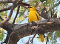 Oriolus auratus subsp notatus, Katima Mulilo, Birding Weto, a.jpg
