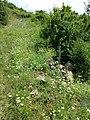 Orlaya grandiflora sl8.jpg