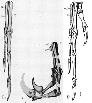Ornitholestes - Hand of the holotype, with the first finger restored on the right