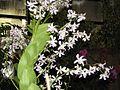 Orquidea 2003 001.jpg