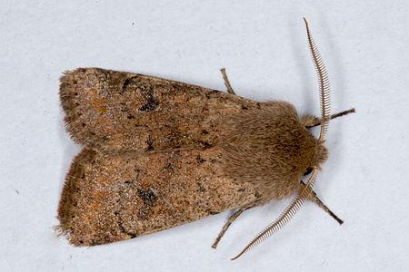 Orthosia cruda02, Lodz(Poland)(js).jpg