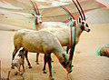 Oryx family.jpg