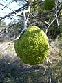 Osage orange fruit.JPG