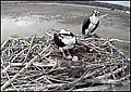 Osprey cam at Blackwater (8190116191).jpg