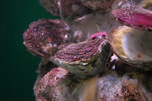Ostrea edulis, Aquarium Finisterrae, Galicia, Spain