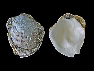 <i>Ostrea edulis</i> Species of oyster