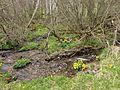 PR Brčálnické mokřady pod osadou Brčálník, kvetoucí blatouchy bahenní podél potoka, 1, duben 2017.jpg