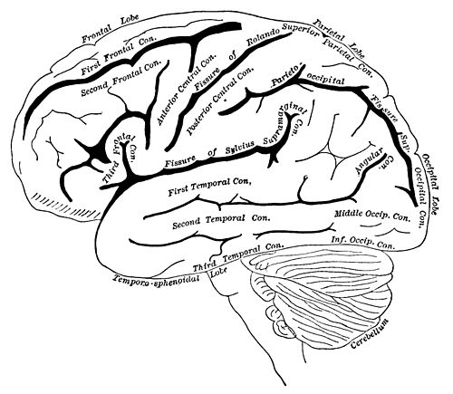 PSM V35 D759 Diagram of the left cerebral hemisphere.jpg